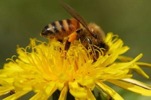 abeilleGillesRoche